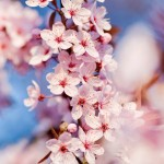 cherryblossoms_hd-wallpaper