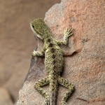 lizard-1024x1024-wallpaper-5316
