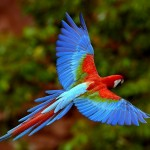 HTC Desire Wallpapers colorful parrot