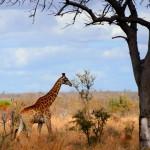 giraffe wallpaper desire