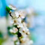 HTC Desire Wallpapers white flower