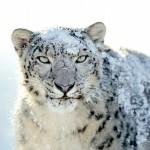 HTC Desire Wallpapers white leopard