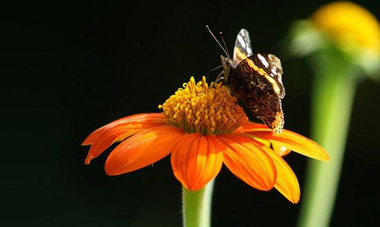 Butterfly Dual Effect
